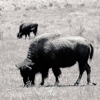 Julie Niemela - Buffalo Near Zion