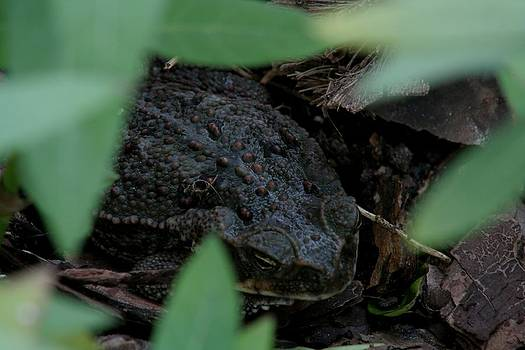 Bufo marinus - Cane Toad by April Wietrecki Green