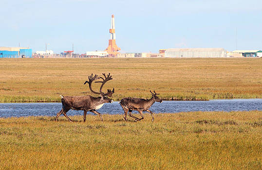 Bull and Cow Caribou In Arctic Oilfield by Wyatt Rivard