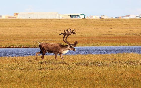 Bull Caribou in Arctic Oilfield by Wyatt Rivard