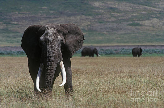 Craig Lovell - Bull Elephants - Ngorongoro Crater
