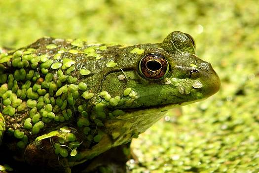 Bull frog by Dave Fitzpatrick