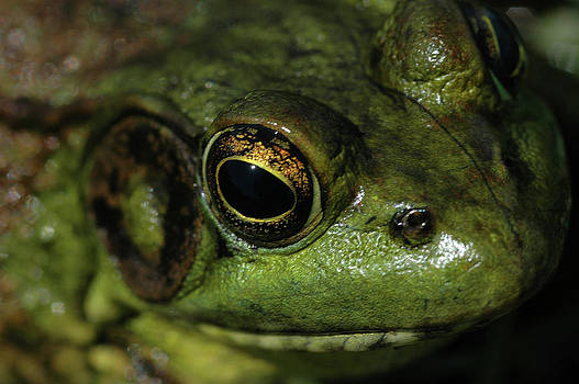Bull Frog HeadShot by Rafael Figueroa