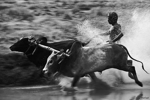 Bull Racing by Vinod Nair