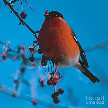 Bullfinch  by Elena Filatova