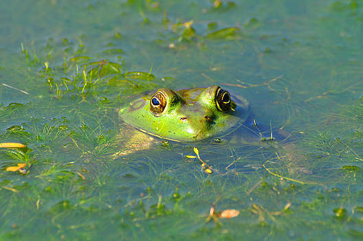 Bullfrog by Peter  McIntosh
