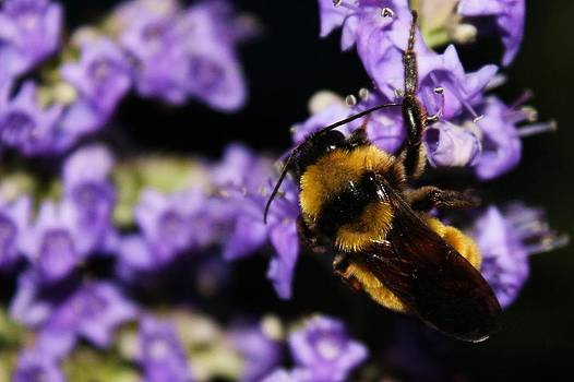 Bumble Bee at Dusk by Lorri Crossno