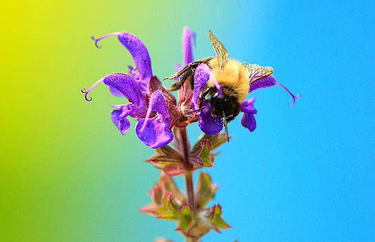 Bumble Bee in the Sunlight by Cathy Leite Photography