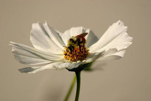 Bumble bee on white Cosmos by L J Penrod