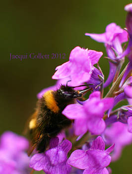Bumble by Jacqui Collett