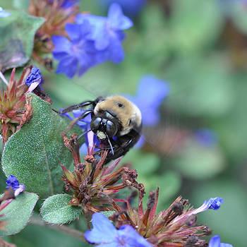 Victoria Porter - Bumblebee in Plumbago Larpentae