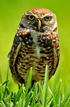 Burrowing Owl by Bruce Colin