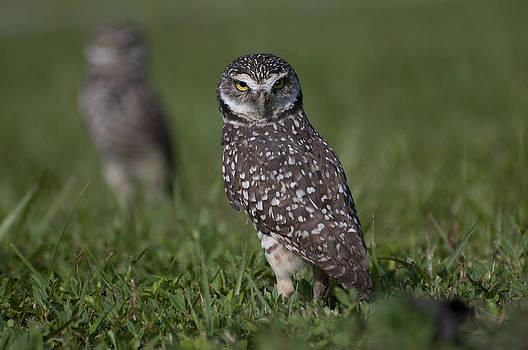 Burrowing Owls by Robert Wicker