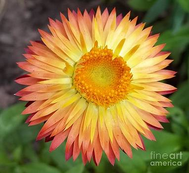 Bursting Cone Flower by John From CNY