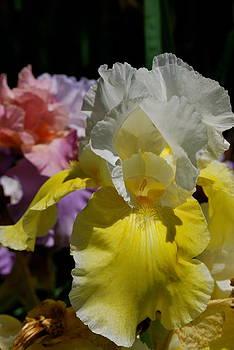 Busting Iris Garden by Michelle Cruz