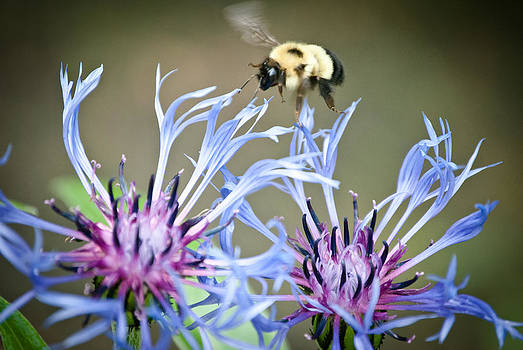Busy Bee by Laura Pineda