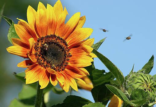 Cindi Ressler - Busy Bees on Sunflower