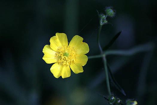 Buttercup - Ranunculus Acris by James Hammen