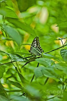 Butterflies mating by Saajid Abuluaih