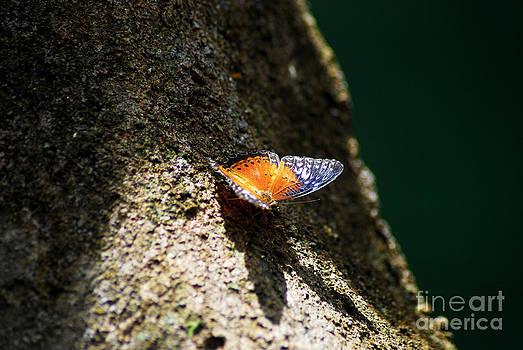 Butterflies on a tree by Saajid Abuluaih