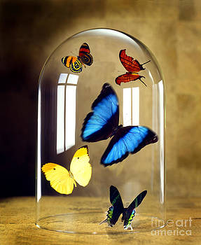 Butterflies under glass dome by Tony Cordoza