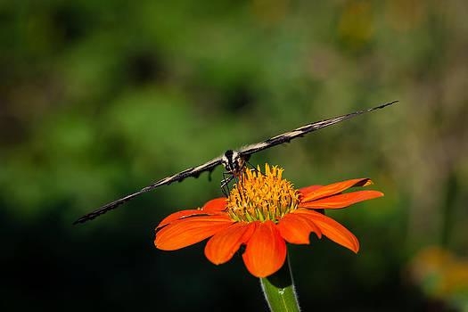 Butterfly -4 by Alhaji Samura