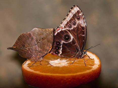 Butterfly by Adrian Krol