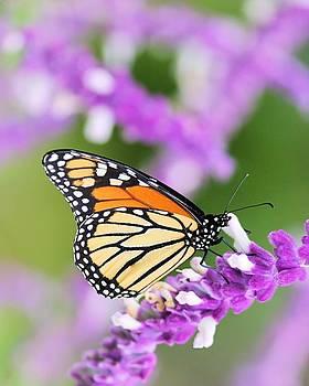 Butterfly Beauty by Elizabeth Budd