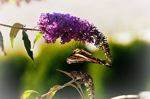 Butterfly Bush by Melissa  Maderos