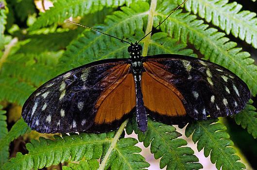 Butterfly  by Cheryl Cencich