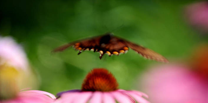 Butterfly in Flight by Frank DiGiovanni