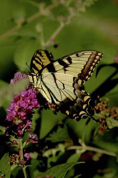 LeeAnn McLaneGoetz McLaneGoetzStudioLLCcom - Butterfly Kisses
