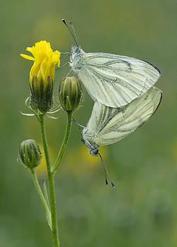 Butterfly Love by Falko Follert