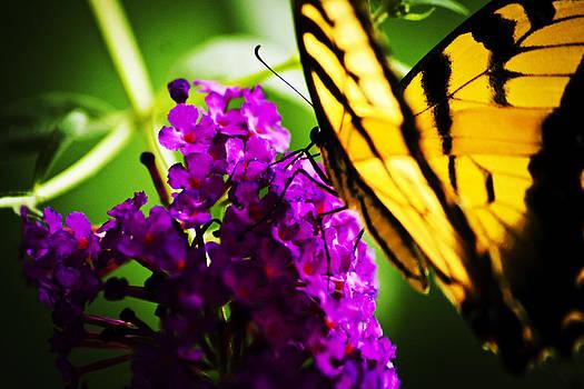 Butterfly meet Butterfly Bush by Steve Buckenberger