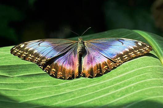 Butterfly Of Color by Cheryl Cencich