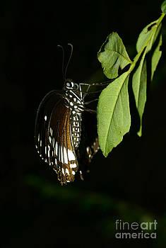 Butterfly On Leaf by Jiss Joseph