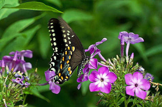 Butterfly on purple by Cheryl Cencich