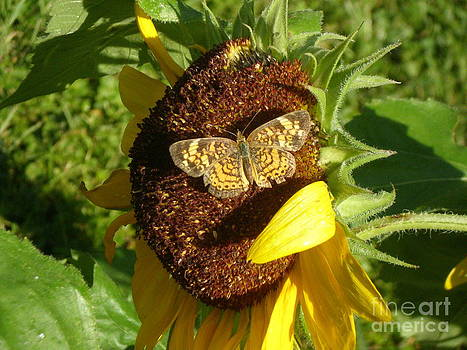 Butterfly on Sunflower by Sandy Owens