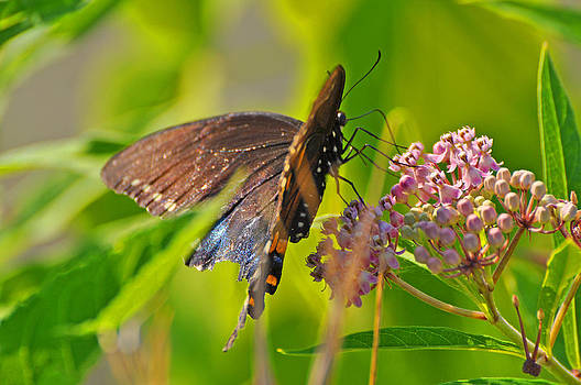 Butterfly by Peter  McIntosh