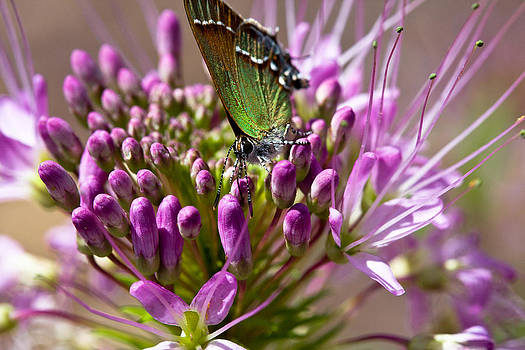 Butterfly pollinating bee plant by Bernhard Michaelis