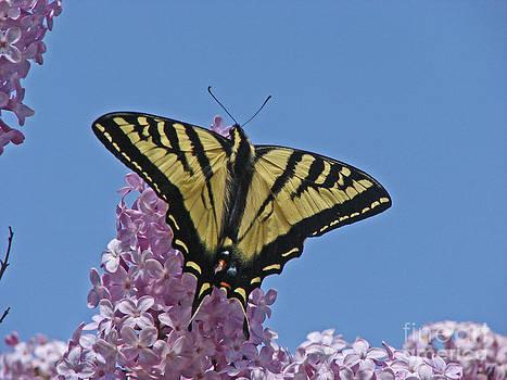 Butterfly Sky by Suze Taylor