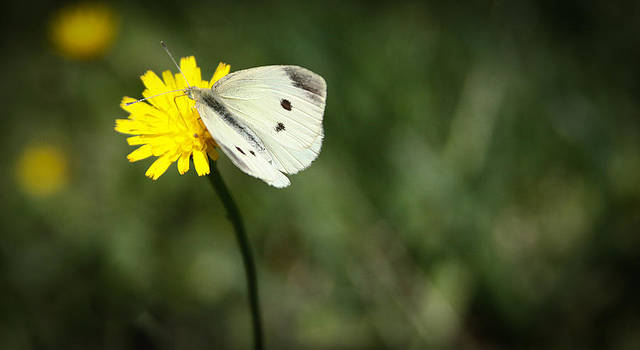 Cabbage Butterfly by Theresa Johnson