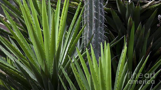 Cacti 2 by L E Jimenez