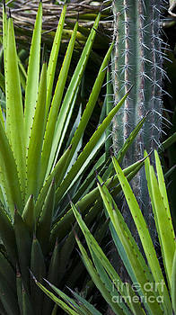 Cacti by L E Jimenez