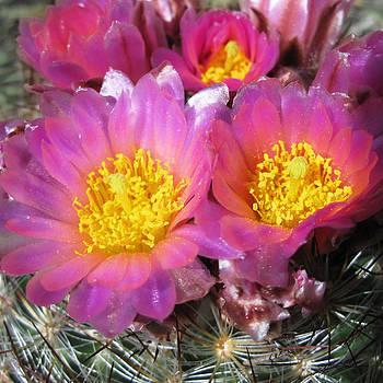 Julie Magers Soulen - Cactus Blossoms