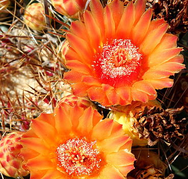 Cactus Flower 7 by M Diane Bonaparte