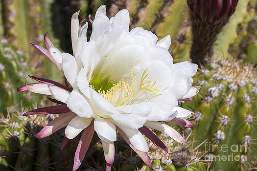 Darcy Michaelchuk - Cactus Flower Turning Towards the Sun