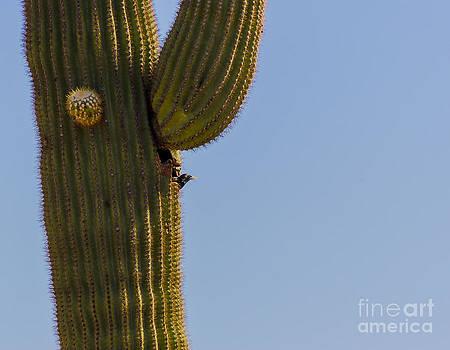 Darcy Michaelchuk - Cactus Peek a Boo