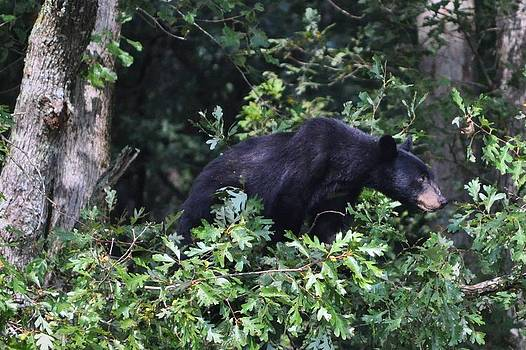 Cades Cove Bear by Jeff Moose