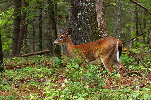 Cades Cove Deer by Anthony Wilder